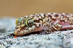 mediterranean house gecko portrait
