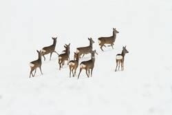 Reh Herde auf Schnee