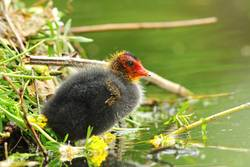 common eurasian coot young chick near the nest