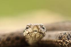portrait of hungarian meadow viper