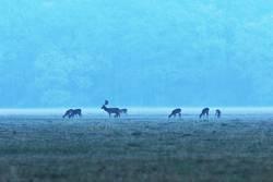 fallow deer herd at dawn
