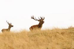 großer Hirsch auf dem Hügel