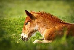 young brown horse closeup