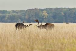fallow deer bucks fighting in mating season