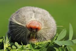 portrait of lesser mole rat