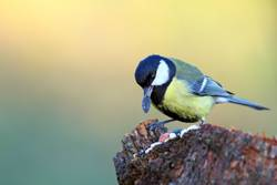 great tit with seed in beak
