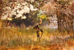 fallow deer buck in beautiful autumn forest setting