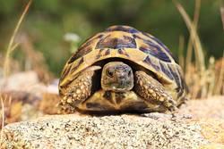 greek turtoise, full length animal in natural environment