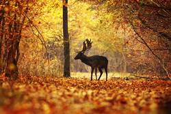 deer stag in colorful autumn forest