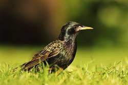 full length common starling