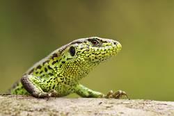 closeup of colorful male sand lizard