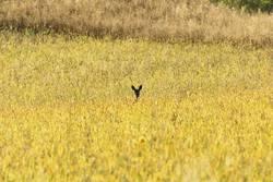 roe deer watching from wheat field