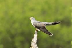 common cuckoo on a stump