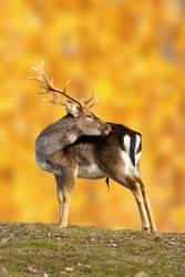fallow deer buck in autumn