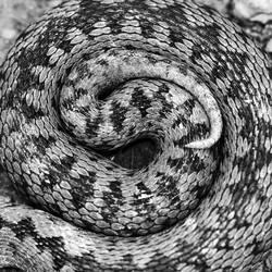 artistic view of Vipera berus pattern