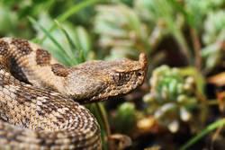 closeup of beautiful and dangerous european nose horned viper
