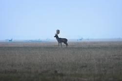large fallow deer buck on twilight