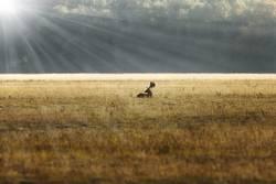 fallow deer stag in sunrise orange light