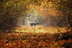 fallow deer buck on forest road