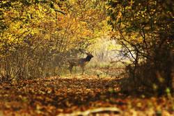 deer buck crossing forest road