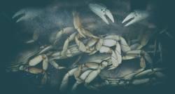 Krosse Krabbe
