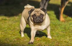 A beautiful pug stands in the meadow