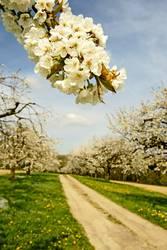Die Kirschbäume blühen.....