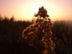 Kuschelblume im Sonnenlicht