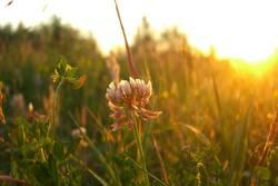 Gräserblühen im Sonnenuntergang
