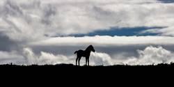 Island Pferd / Fohlen