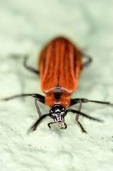 Auf der Mauer, auf der Lauer sitzt ein kleiner Käfer