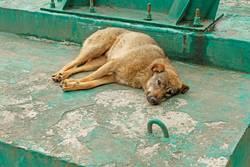 Rambling dog lying