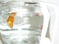 goldfisch in der kaffeekanne