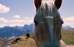 The italian horse