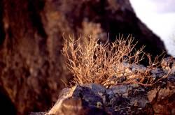 Wüstengewächs
