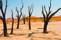 Dead Acacia Trees in Namib desert