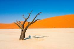 Tote Akazie in der Wüste