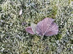 Lila Lindenblatt auf bemoostem Rasen mit Raureif