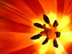 Tulpe intern