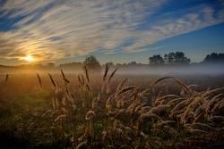 Gräser im Morgennebel