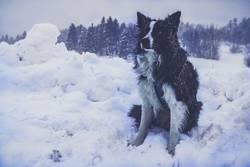 Bordercollie im Schneesturm