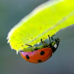 Ladybird under leaf