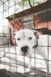 Dogo Argentino - Argentino Mastiff