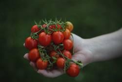 Ein Strauch voller Bio Tomaten