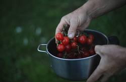 Ein Topf mit frischen Bio Tomaten