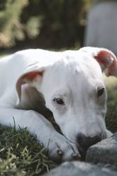 Dogo Argentino - Argentino Mastiff Welpe