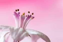 rosa Krönchen