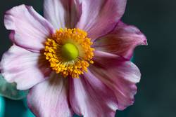 Anemone in rosa