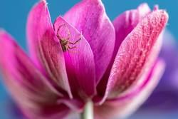 Kleine Spinne an der Anemone