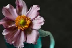 Anemone in blauer Vase
